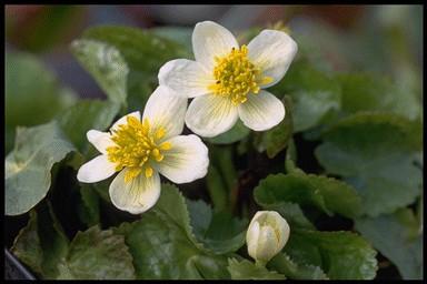 campanula persicifolia alba