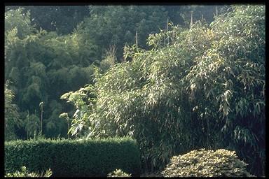 prunus ternella fire hill op stam