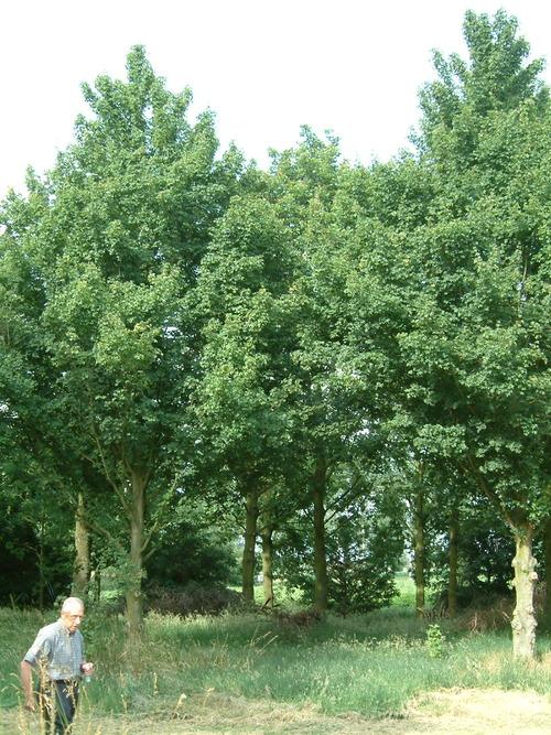 bomen en heesters arbres et arbustes trees and shrubs. Black Bedroom Furniture Sets. Home Design Ideas