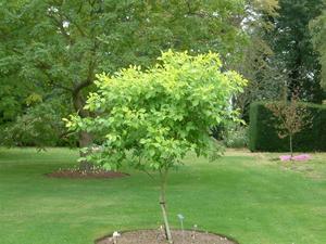 Ptelea trifoliata snoeien